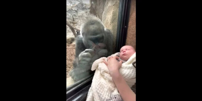 Γορίλας σε ζωολογικό κήπο τρελάθηκε με βρέφος-επισκέπτη